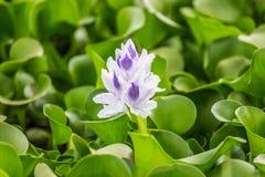 Flora del lago Naivasha (Kenya) Immagine Stock Libera da Diritti