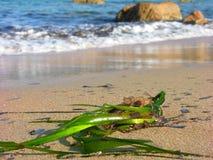 Flora del mar en la playa Imágenes de archivo libres de regalías