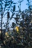 Flora del natural del Banksia de la palmatoria Imágenes de archivo libres de regalías