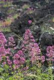 Flora del volc?n del monte Etna, flor de la valeriana rosada o de la valeriana roja, planta del ruber del Centranthus de jard?n p fotografía de archivo