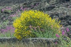 Flora del volc?n del monte Etna, del flor de la valeriana rosada del ruber del Centranthus o del aetnensis rojo del valeriana y a fotos de archivo libres de regalías