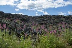 Flora del volc?n del monte Etna, flor de la valeriana rosada o de la valeriana roja, planta del ruber del Centranthus de jard?n p imagen de archivo