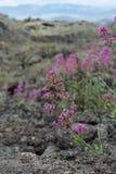 Flora del volc?n del monte Etna, flor de la valeriana rosada o de la valeriana roja, planta del ruber del Centranthus de jard?n p fotos de archivo