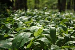 Flora della foresta Immagine Stock