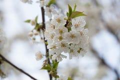 Flora della primavera - Cherry Blossoms nero Immagine Stock Libera da Diritti