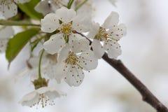 Flora della primavera - Cherry Blossoms nero Fotografia Stock Libera da Diritti