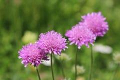 Flora delle alpi: Foschia rosa & x28; Columbaria& x29 di Scabiosa; Immagine Stock Libera da Diritti