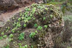 Flora delle isole Canarie Immagini Stock