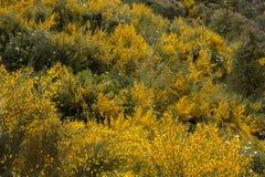 Flora di Algarve della primavera Immagine Stock
