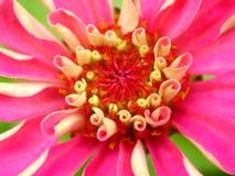 Flora di colore rosa caldo Immagini Stock