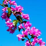 Flora di estate: bourgainville rosa contro un chiaro cielo blu Fotografia Stock