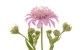 Flora di Gran Canaria Immagini Stock