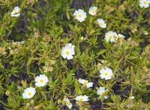 Flora di Gran Canaria Fotografia Stock Libera da Diritti