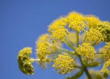 Flora di Gran Canaria - linkii della ferula, finocchio color giallo canarino gigante fotografie stock libere da diritti