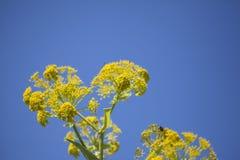 Flora di Gran Canaria - linkii della ferula, finocchio color giallo canarino gigante immagini stock
