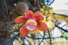 Flora di Sala o fiore robusta dello Shorea sull'albero della palla di cannone Immagini Stock