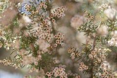 Flora do arborea de Gran Canaria - de Erica fotografia de stock