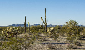 Flora do deserto no monumento nacional de Sonoran Imagem de Stock