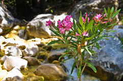Flora do desfiladeiro de Samaria, ilha da Creta fotografia de stock
