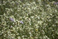 Flora do raphanistrum de Gran Canaria - de Raphanus imagens de stock