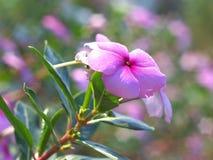 A flora do roseus do Catharanthus Imagem de Stock
