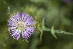 Flora do tomentosa de Gran Canaria - de Galactites fotografia de stock