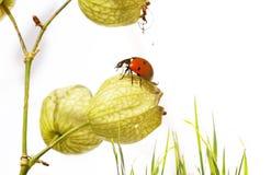 Flora e coccinella fotografia stock