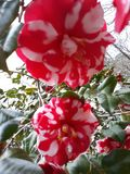 Flora in East Texas Gardenia 002. Gardenia bush in bloom in East Texas near Angelina National Forest 2019 stock image
