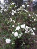 Flora em Texas Bridal Wreath do leste 001 foto de stock royalty free