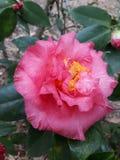 Flora em Texas Gardenia do leste 001 imagens de stock