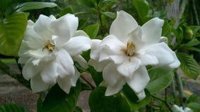 Flora em Texas Gardenia do leste 003 foto de stock royalty free