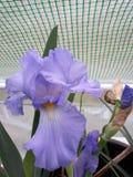 Flora em Texas Iris do leste 002 fotos de stock