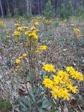 Flora em Texas Wildflowers do leste 001 imagens de stock