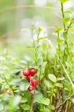 Flora eurasiática del arándano, lingonberry comestible del bosque foto de archivo