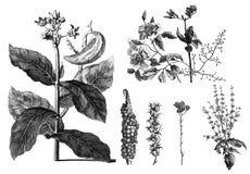 Flora exotic plants on white background. Public domain. Voyages de Corneille Le Brun par la Mascovie, en Perse, et aux Indes Orientales. Amsterdam : chez Royalty Free Stock Photography