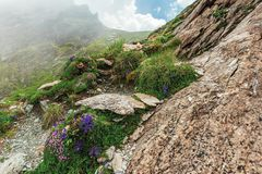 Flora of the fagaras mountain. Flowers among the grass on the edge of a steep rocky slope. foggy weather with cloudy sky on the background royalty free stock images