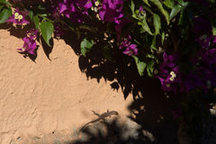Flora and fauna – small lizard sitting under the sun rays on w. Small lizard sitting under the sun rays on warm stone wall with bougainvillea plant Royalty Free Stock Photography