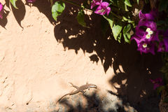 Flora and fauna – small lizard sitting under the sun rays on w. Small lizard sitting under the sun rays on warm stone wall with bougainvillea plant Stock Image