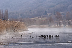 Flora and fauna. A view of an italian lake with some misty fog over the iced lake and some water hens walking on the slabs Royalty Free Stock Photo