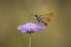 Flora and fauna. Large skipper butterfly eating nectar from the flower of Scabiosa columbaria, side view. Flora and fauna are well presented here Stock Photos