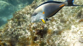 Flora And Fauna Of The Red Sea. Slow motion clip of a sohal surgeonfish or sohal tang, Acanthurus sohal stock video footage