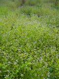 Flora Flower Field indesiderata porpora Fotografia Stock Libera da Diritti
