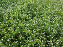 Flora Flower Field indesiderata porpora Immagini Stock
