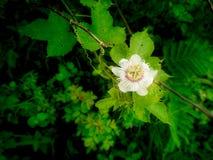 Flora Flower Hanging indeseada blanca fotografía de archivo