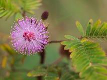 Flora Flower non désirée pourpre Image libre de droits