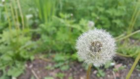Flora, Flower, Plant, Dandelion royalty free stock photos