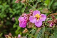 Flora, Flower, Plant, Melastome Family Stock Image