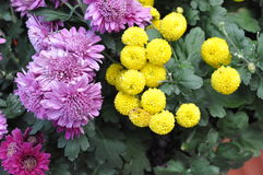 Flora - Flowering Plant (Chrysanthemum) Stock Images