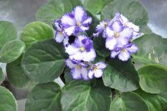 Flora - Flowering Plant (White Purple) Royalty Free Stock Image