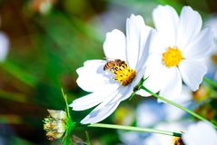 Flora flowers, busy bee. Busy bee lovely flower white flowers bee flora stock photos